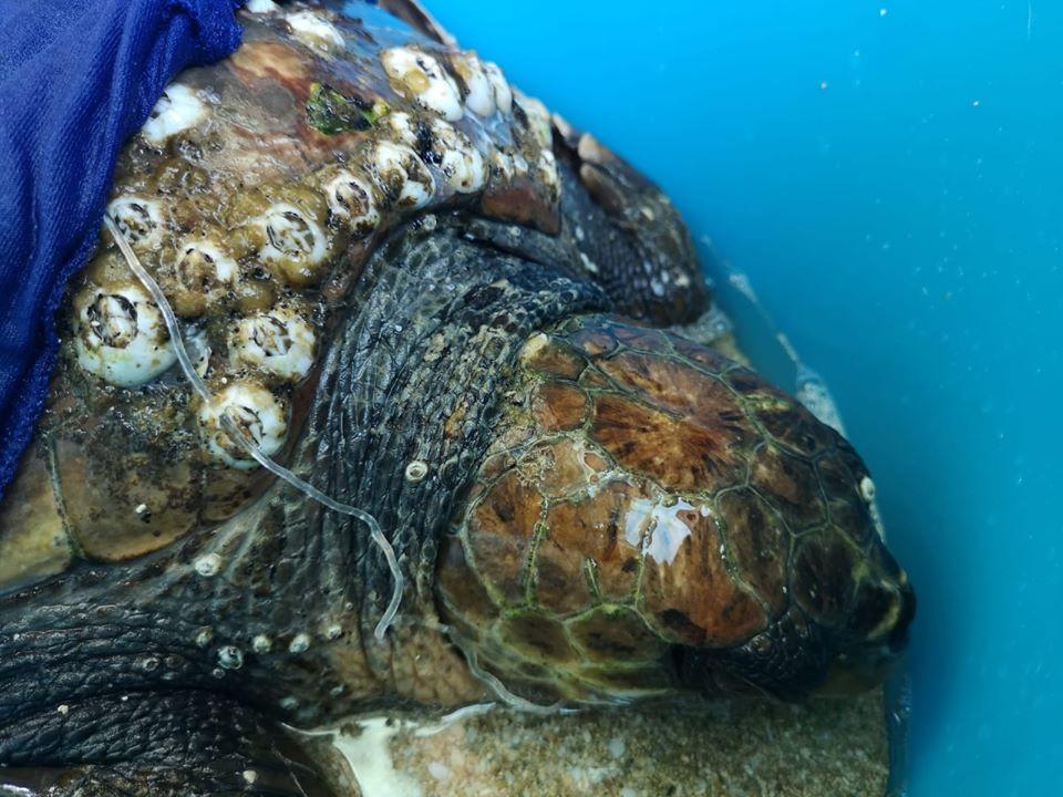 Tartaruga marina all'Oasi WWF di Policoro